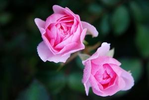 roses-22802_1280